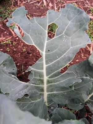食害された葉