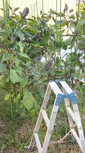 トルバム ビガーに接ぎ木したナスの栽培風景