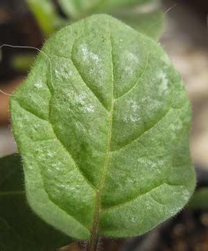 トルバムビガーの葉の表面の艶