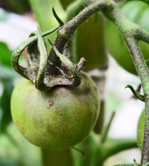 トマトの果房に発生した疫病の病斑