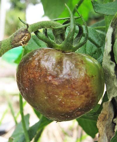 トマトの実の暗褐色の疫病の病斑