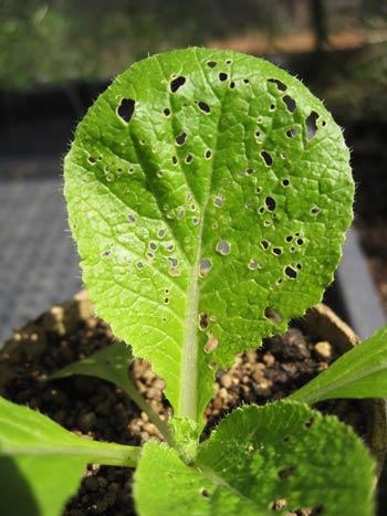 キスジノミノハムシの食害で、穴だらけになった白菜の葉