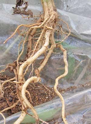 スイカを接木したカンピョウ台木の根