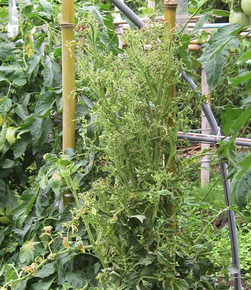 叢生状のトマト