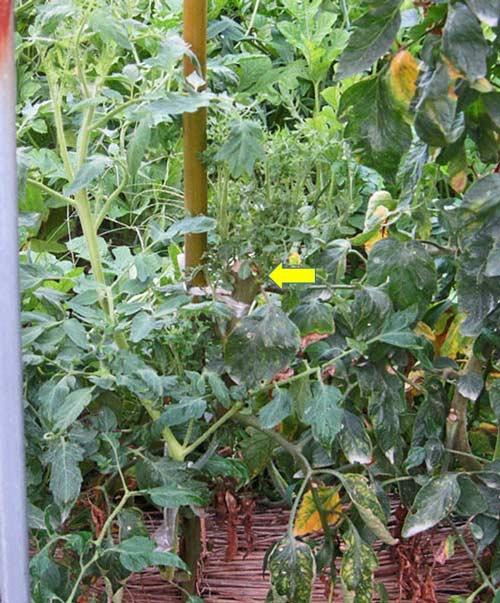 正常な脇芽が出てきたトマト