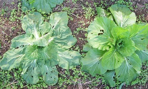 根こぶ病で日中萎れるようになった白菜