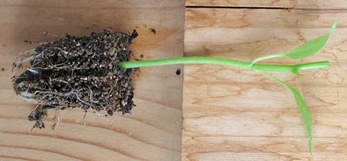 余分な茎葉を除去