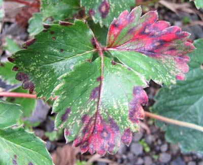 赤く変色したイチゴの葉