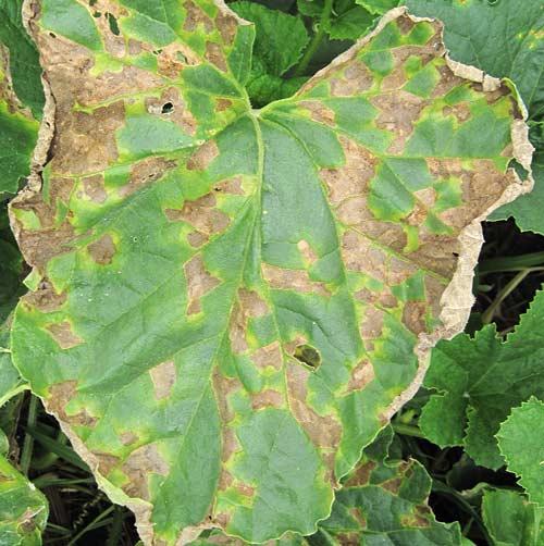 メロンの葉に現れた細菌病と思われる病斑
