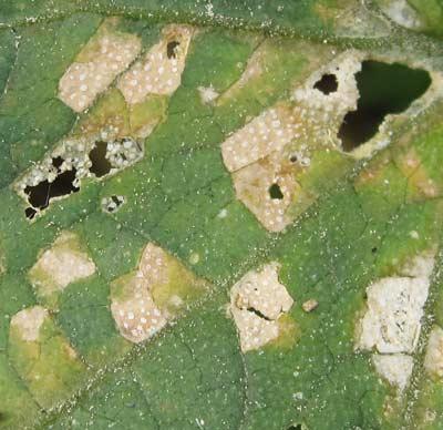 キュウリの葉の病斑を拡大