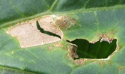 穴の開いた病斑