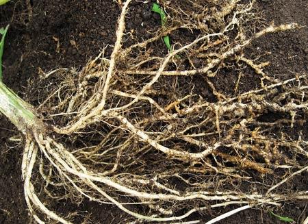 ネコブセンチュウの寄生した根