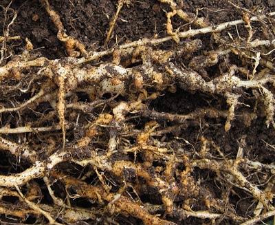 こぶ状の根
