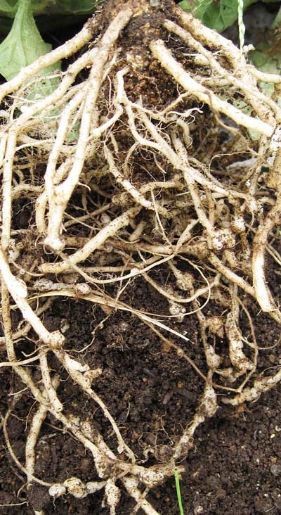 センチュウによるコブが減ったプリンスメロンの根