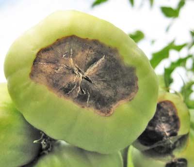 カルシウム欠乏症が進行したトマトの実の状態