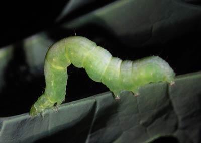 尺取虫のようなタマナギンウワバの幼虫