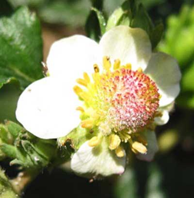 イチゴの花の うどんこ病