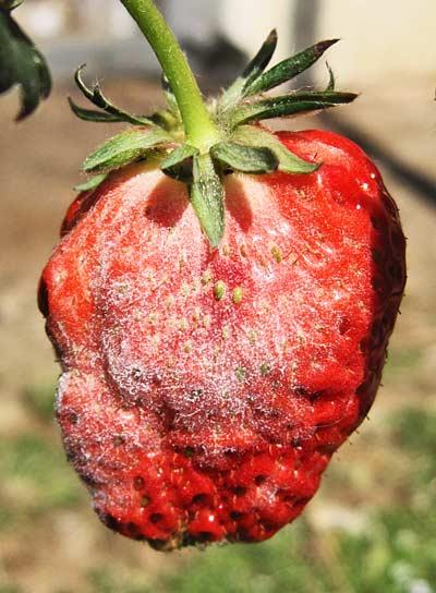 イチゴの実の うどんこ病