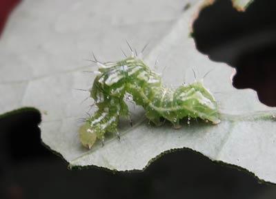ウリキンウワバの成熟幼虫