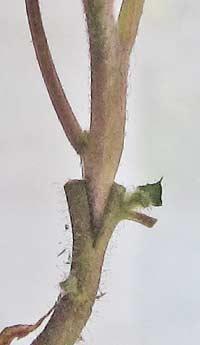 台木に穂木を挿したところ
