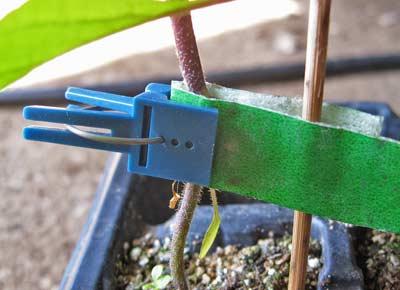 ガーデンテープと接ぎ木クリップで固定