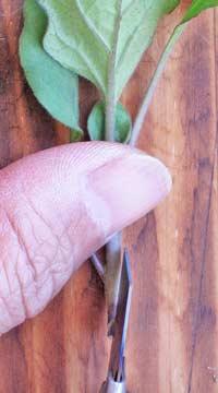 穂木の加工