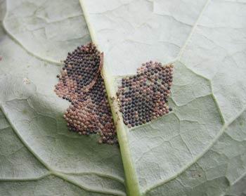 ヨトウ蛾の卵