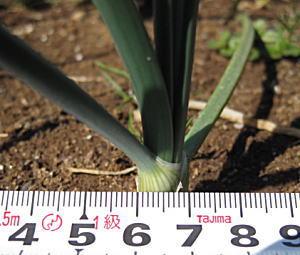 アトン玉ねぎの茎の太さ1センチ