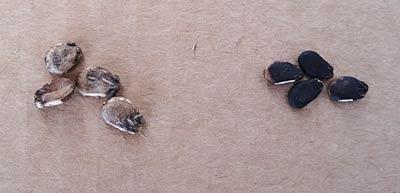 3Xブラックムーン スイカの種