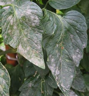葉に発生した、うどんこ病の病斑