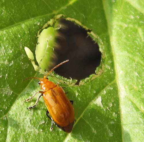 ウリハムシの成虫