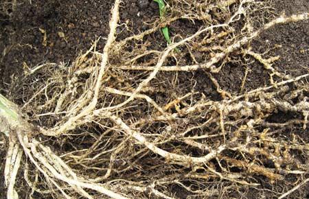 自根栽培の根