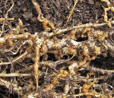 ネコブセンチュウに寄生された根
