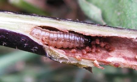 アズキノメイガの幼虫