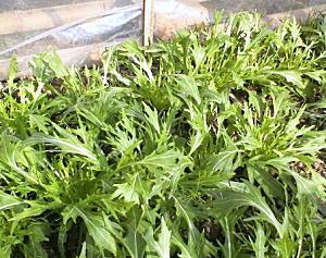 1月初めの水菜の草姿