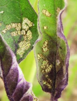 ニジュウヤホシテントウに食害されたナスの葉