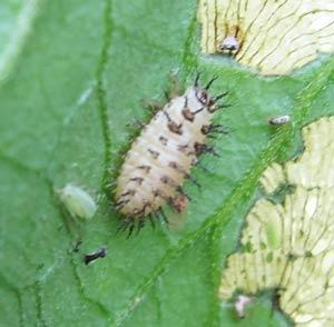 ニジュウヤホシテントウの幼虫
