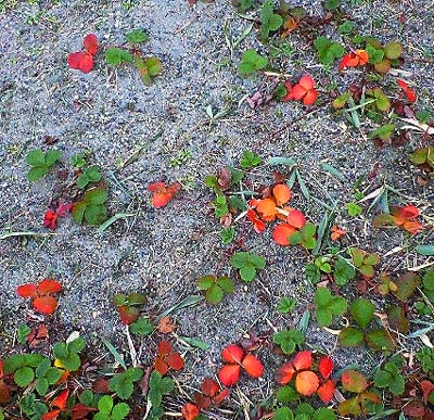 家の北東側のイチゴの紅葉