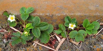 コンクリート脇のイチゴ花
