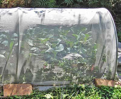 虫除けネットで育苗中の苗