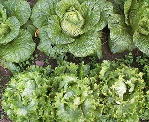 隣り合って栽培されている白菜とレタス