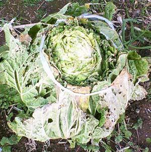 外葉で包み込んだ結球した白菜