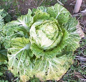 防寒をしないで栽培中の白菜