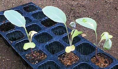 害虫の餌食になった植え替え残りの苗