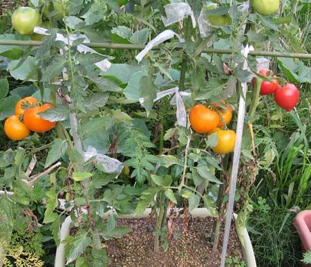 完熟間近のトマトの果房