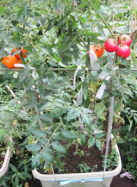 収穫期の2段目の果房
