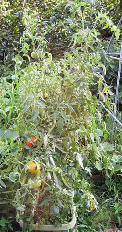 トマトの草姿と大きくなった実