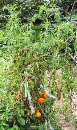 トマトの草姿と小さくて色ずいた実
