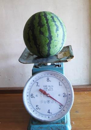 金山スイカの重さをはかる