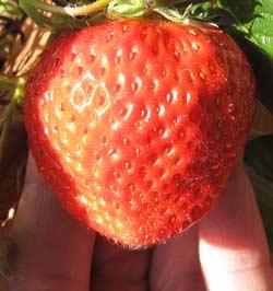 「紅ほっぺ」という品種のイチゴ